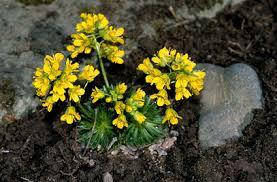 Draba aizoides   yellow whitlow grass/RHS Gardening