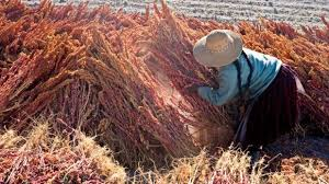 Image result for quinoa puno
