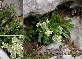 Rhizobotrya alpina Tausch - Portale alla flora del Parco Nazionale ...