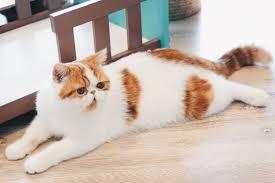 <b>Persian Cat</b> — Full Profile, History, and Care