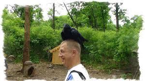 Ворона села на <b>голову</b> — примета про <b>птиц</b> и богатство