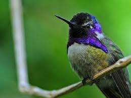 Калипта Коста: необычная <b>птица</b> с <b>головой</b>-осьминогом | Журнал ...
