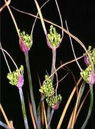 File:Allium nebrodense.jpg - Wikipedia