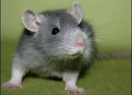 """Résultat de recherche d'images pour """"rat domestique"""""""