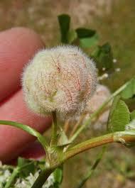 Trifolium tomentosum Calflora