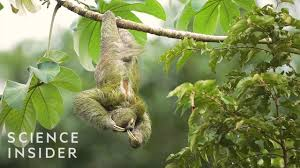 The Extreme Life Of A <b>Sloth</b> - YouTube