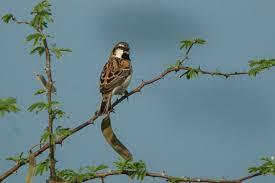 Shelley's sparrow