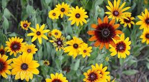 Rudbeckias are Powerhouse Perennial Plants for Your Garden