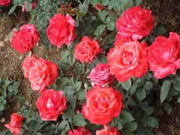 Image result for images of rose garden in ooty