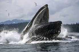 Migrating humpback whales