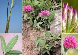 Trifolium alpestre L. - Sistema informativo sulla flora vascolare dei ...