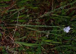 Linum usitatissimum subsp. angustifolium