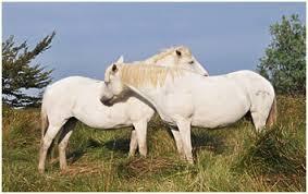 Résultat de recherche d'images pour 'chevaux de camargue'