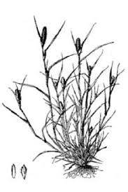 Plants Profile for Crypsis alopecuroides (foxtail pricklegrass)