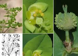 Euphorbia stricta L. - Portale sulla flora della Città di Udine