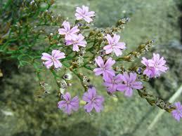 Limonium cosyrense