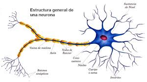 Resultat d'imatges de neuronas sintéticas