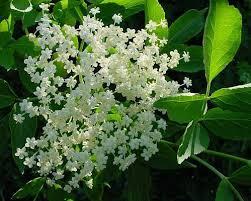 Resultado de imagem para flores de sabugueiro