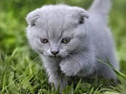 Bildergebnis für blau graue katze