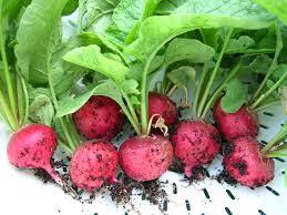 thu hoạch củ cải đỏ