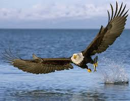 Image result for eagle free images