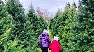 Cut Down Your Own Tree At These Christmas Tree Farms
