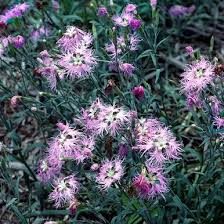 Fringed Pink (Dianthus superbus) - Monticello Shop