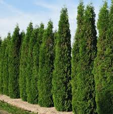 Image result for images cedar trees
