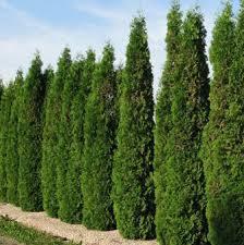 Image result for images cedar trees