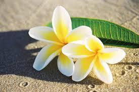 Image result for frangipani images