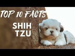 Shih Tzu - Top 10 Interesting Facts - YouTube | Shih tzu puppy, Shih ...