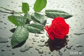 Resultado de imagen de rosas mojadasen san valentín