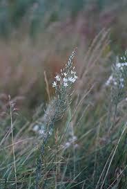 File:Kurgan flora, Ornithogalum sphaerocarpum.JPG - Wikimedia ...