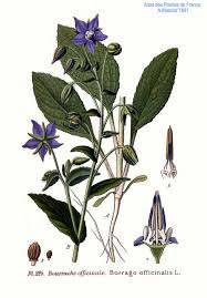 Boraginaceae - Wikipedia