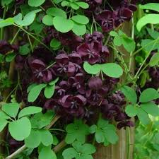 Image result for akebia quinata