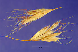 Plants Profile for Bromus ramosus (hairy brome)