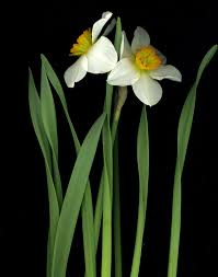 Narcissus - Wikipedia