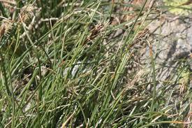 Carex curvula - Wikipedia, la enciclopedia libre