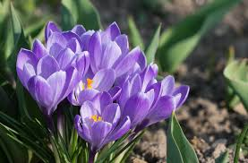 Crocuses: How to Plant, Grow, and Care for Crocus Flowers   The ...
