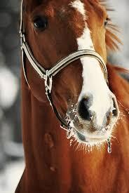 best images about chestnut horses < adoption chestnut horse middot beatiful horsesi love horsesbeautiful