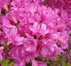 Image result for azaleas