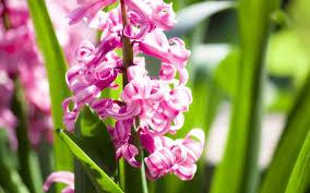 Giacinto orientale - Hyacinthus orientalis - Hyacinthus orientalis ...
