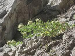 Campanula petraea - Wikipedia
