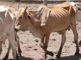 Resultado de imagen para fotos de vacas flacas