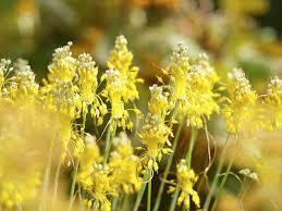 Allium flavum (Yellow-Flowered Garlic)