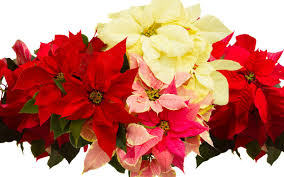 Happy National Poinsettia Day! 10 Festive Facts About the Iconic ...