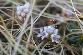 Cuscuta epithymum (L.) L. ssp. kotschyi (Des Moul.) Arcang ...