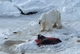 global warming polar bears eat dolphins com polar bears hunting dolphins global warming