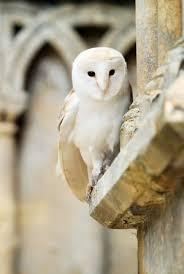 White Barn <b>Owl</b> #BirdsofPrey #BirdofPrey #<b>Bird</b> of Prey ...