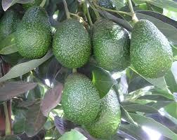Resultado de imagen para cultivo de aguacate en colombia